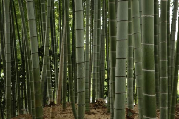Kodaiji Bamboo